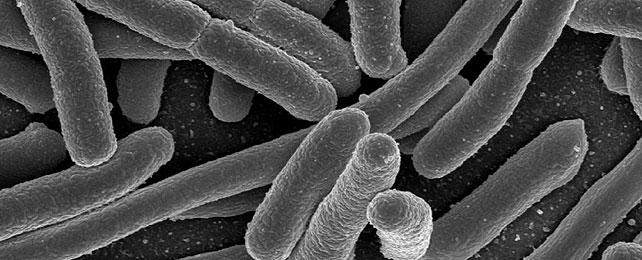 Le principali patologie cunicole: la colibacillosi