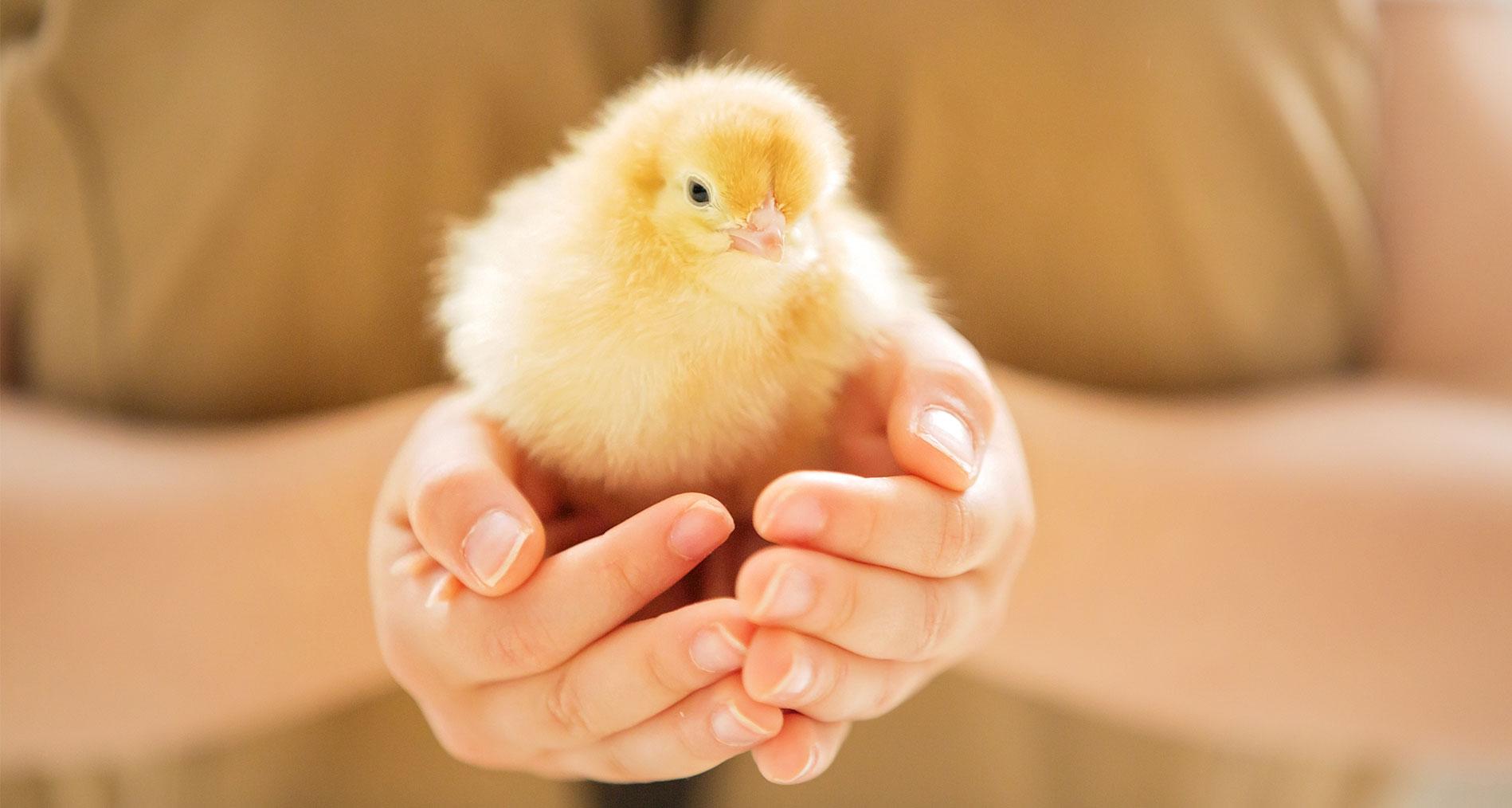 Dall'uovo al pulcino